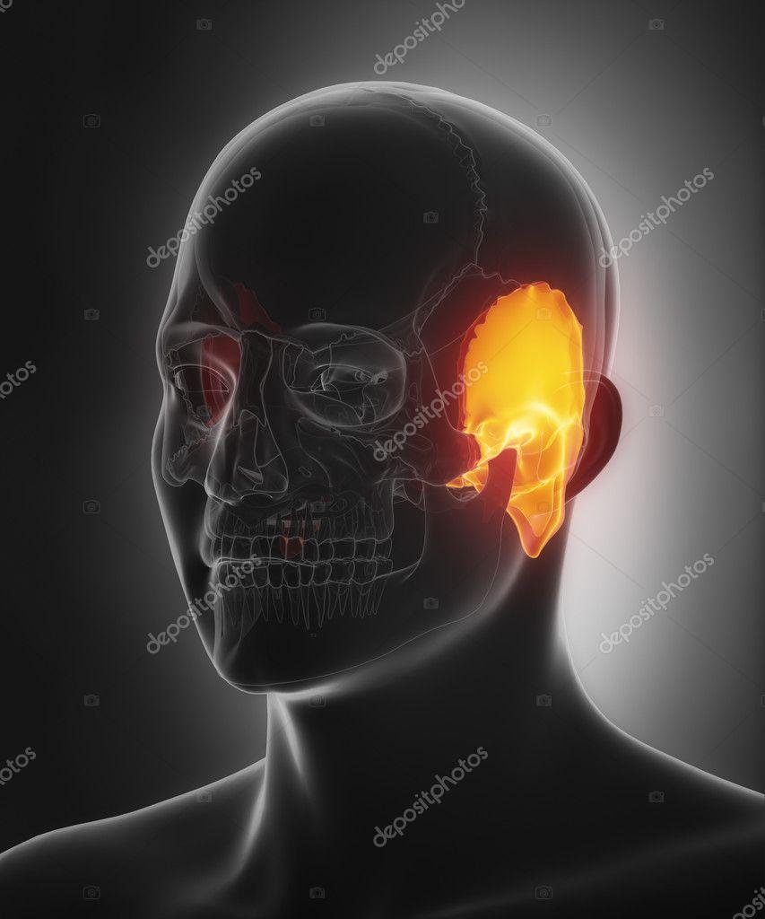 Felsenbein-Anatomie — Stockfoto © CLIPAREA #125321452