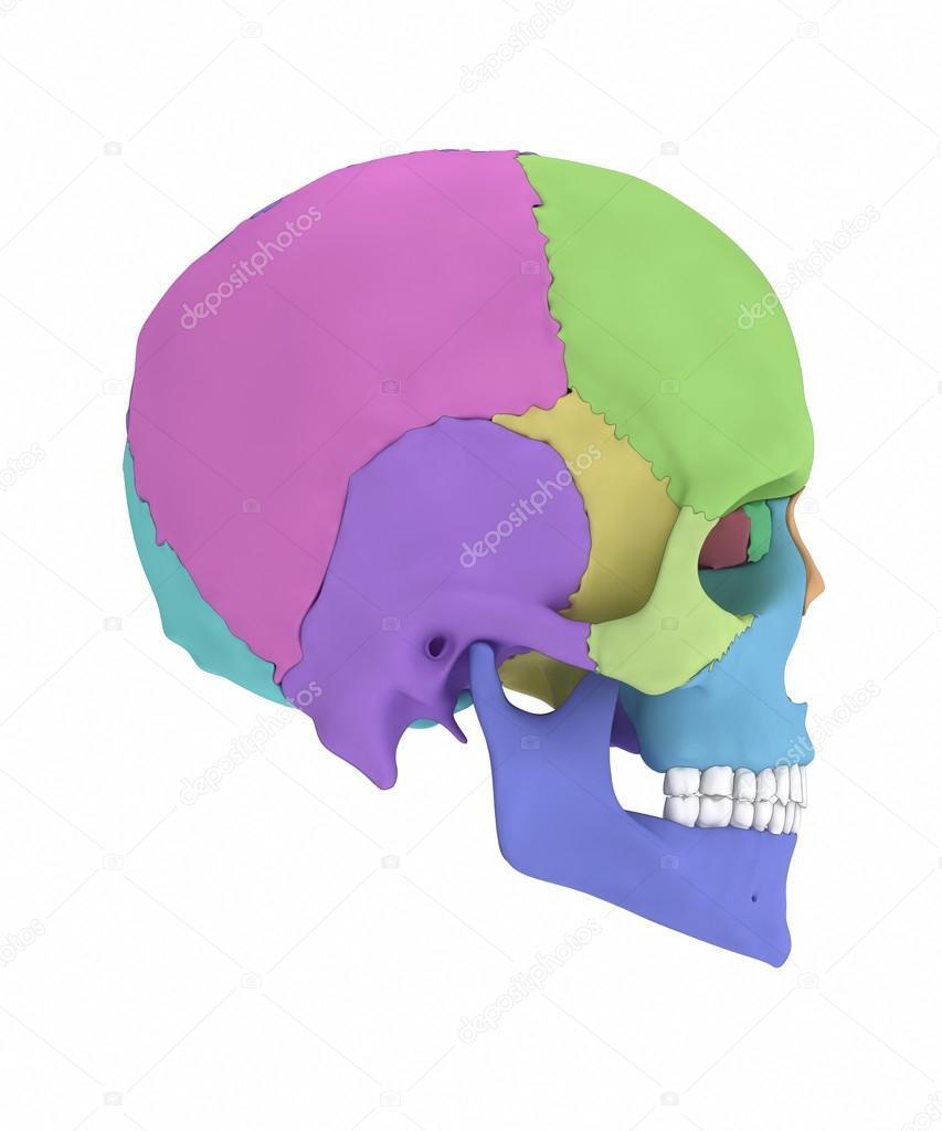 Anatomía de los huesos del cráneo humano — Foto de stock © CLIPAREA ...