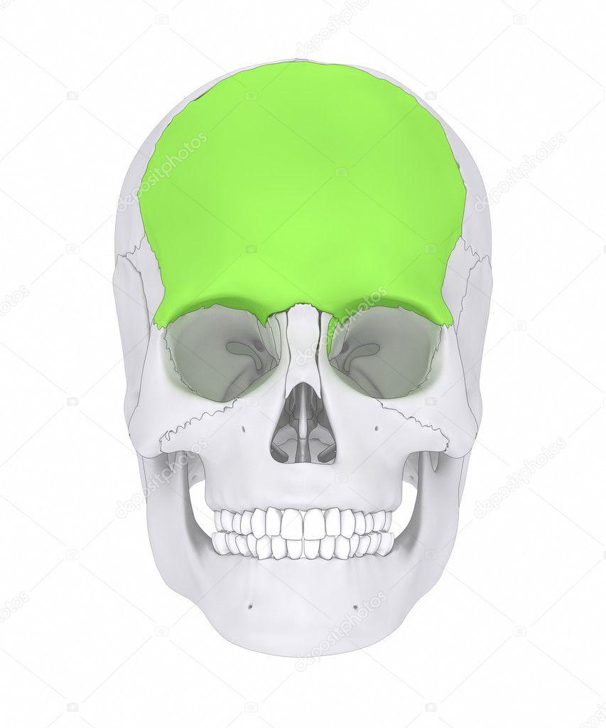human skull frontal bone — Stock Photo © CLIPAREA #125321588