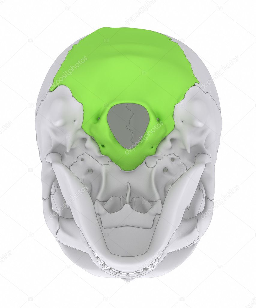 hueso de occipital del cráneo humano — Fotos de Stock © CLIPAREA ...