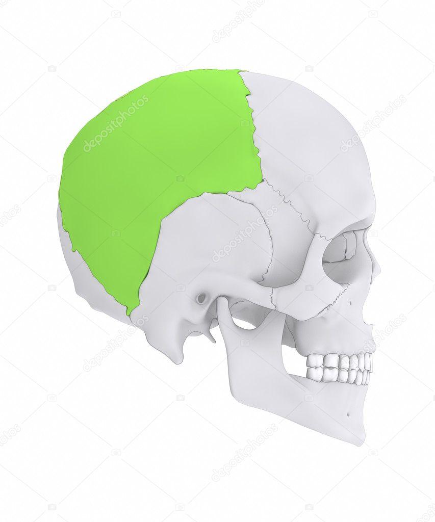 Human Skull Parietal Bone Stock Photo Cliparea 125321610