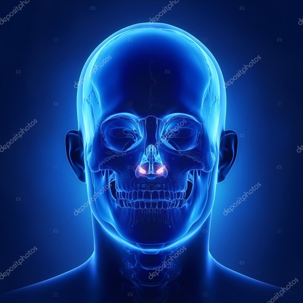 concha nasal inferior de cráneo humano — Foto de stock © CLIPAREA ...