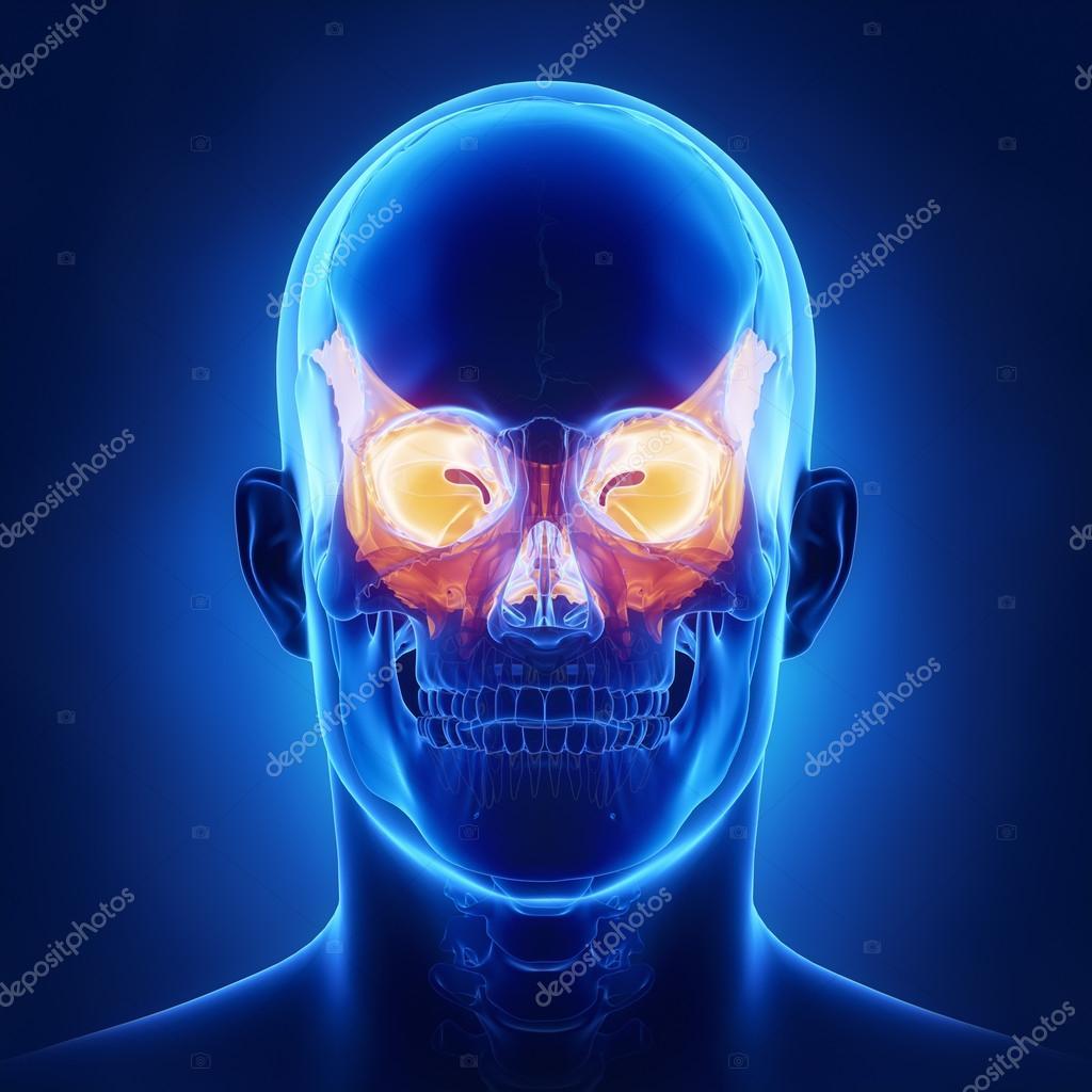 Anatomía de hueso esfenoidal del cráneo — Fotos de Stock © CLIPAREA ...