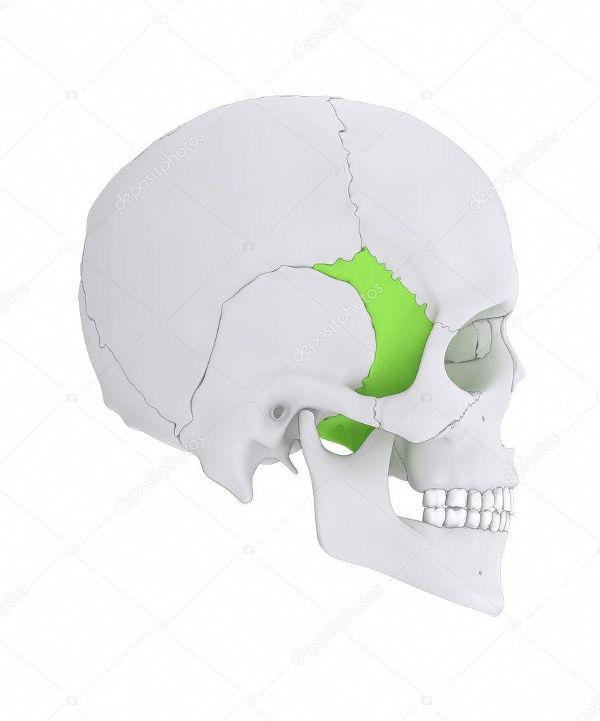 Sphenoid Schädel Knochen Anatomie — Stockfoto © CLIPAREA #125321684