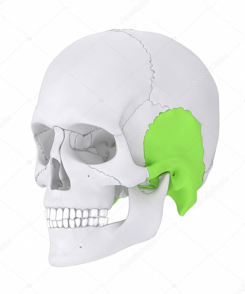 Temporal bone anatomy — Stock Photo © CLIPAREA #125321704