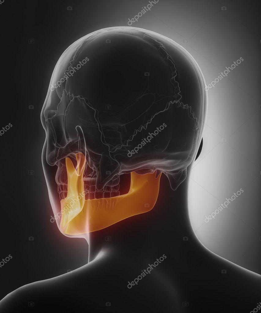 Mndible, hueso de la mandíbula de mandibula — Foto de stock ...