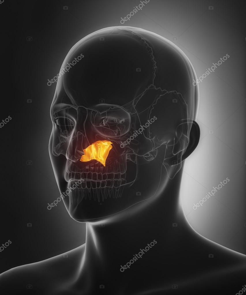 menschlicher Schädel Vomer Knochen — Stockfoto © CLIPAREA #125321728