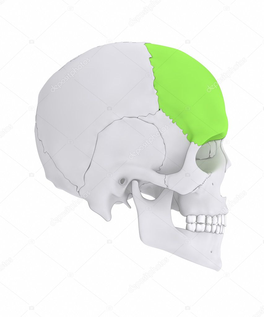 human skull frontal bone — Stock Photo © CLIPAREA #125321760