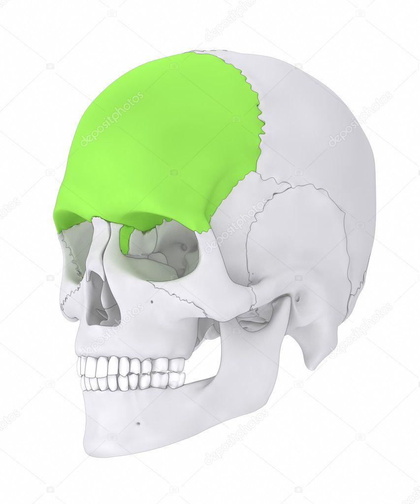 human skull frontal bone — Stock Photo © CLIPAREA #125321796