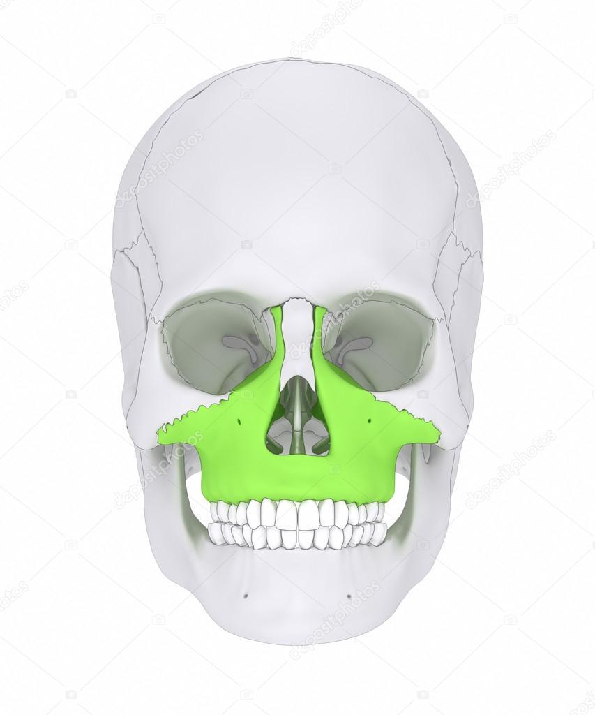 Hueso del cráneo humano de maxilar — Foto de stock © CLIPAREA #125321830