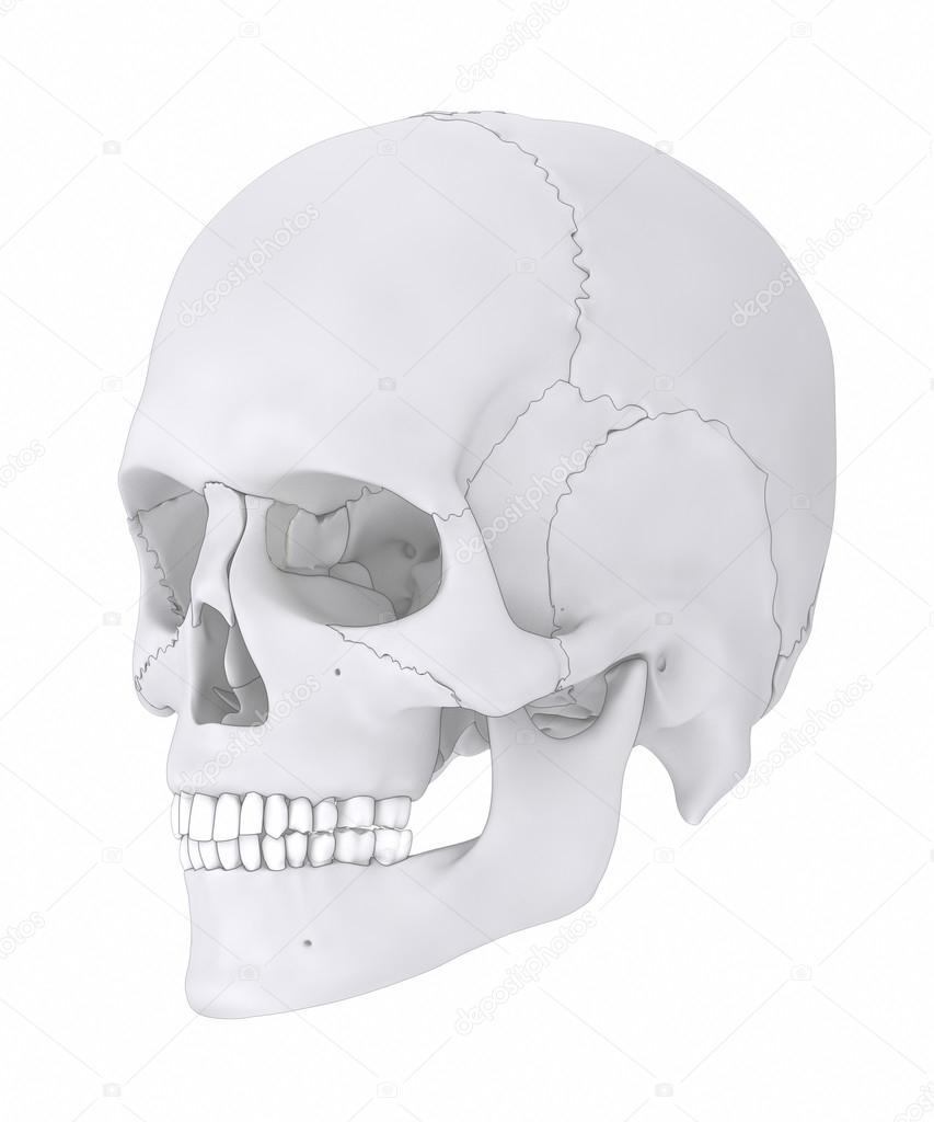 Anatomía de los huesos del cráneo humano — Fotos de Stock © CLIPAREA ...