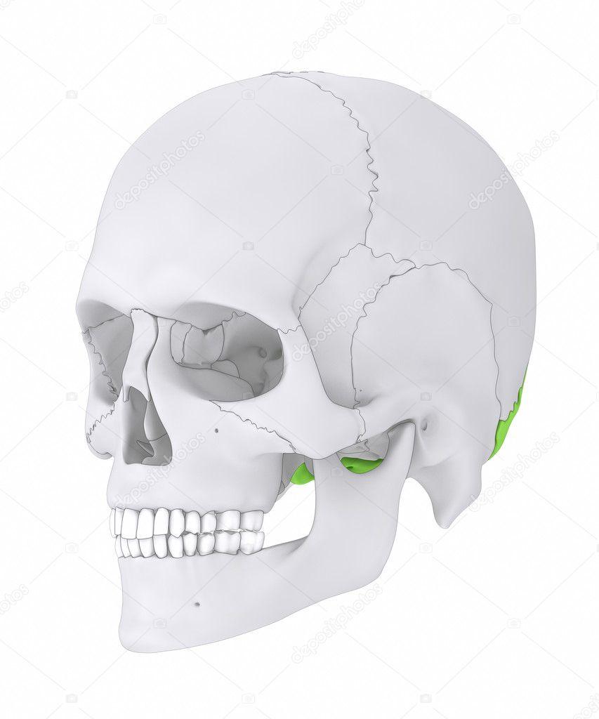 human skull occipital bone — Stock Photo © CLIPAREA #125322098