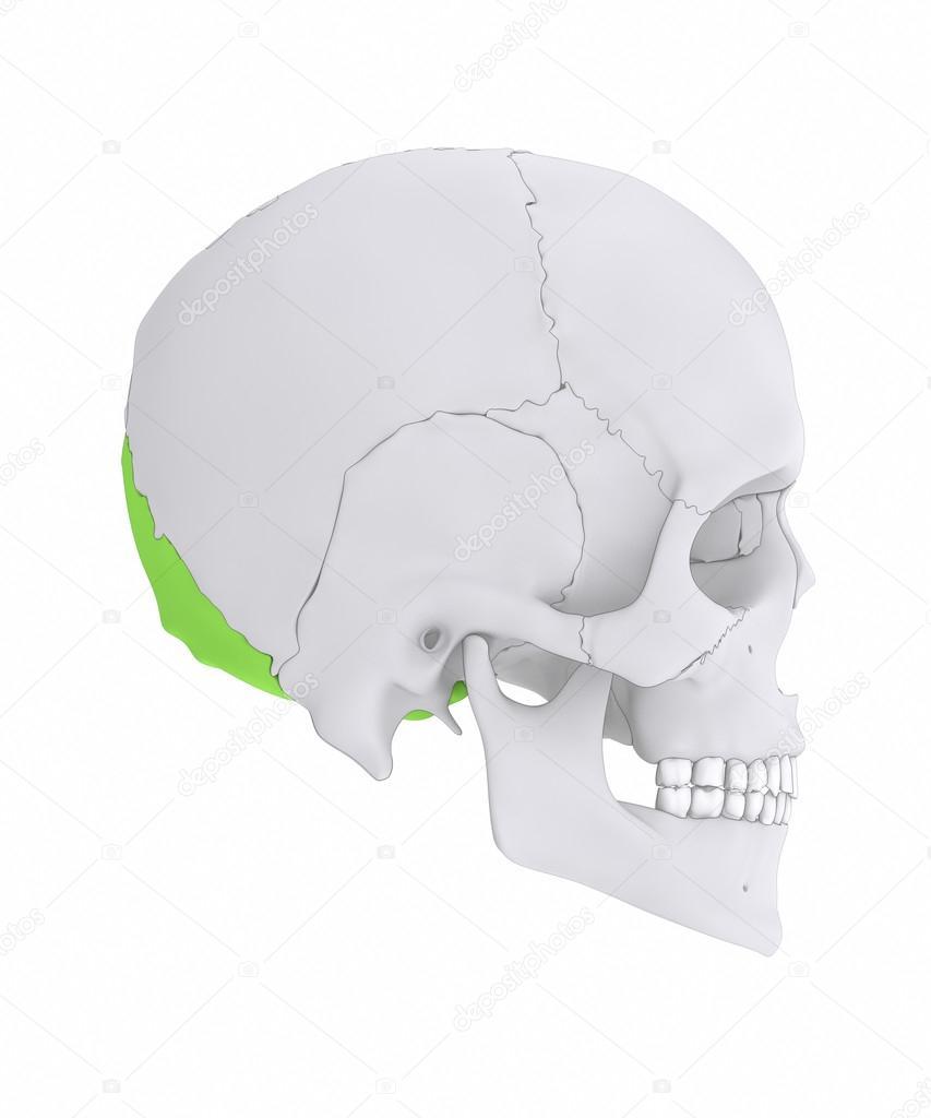 hueso de occipital del cráneo humano — Foto de stock © CLIPAREA ...