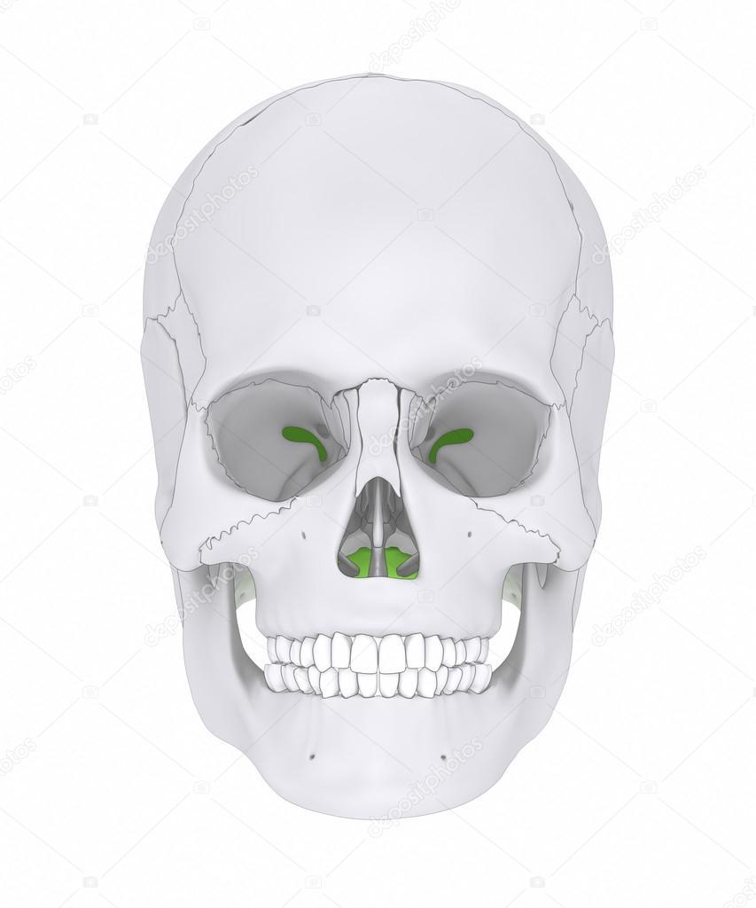 human skull occipital bone — Stock Photo © CLIPAREA #125322116