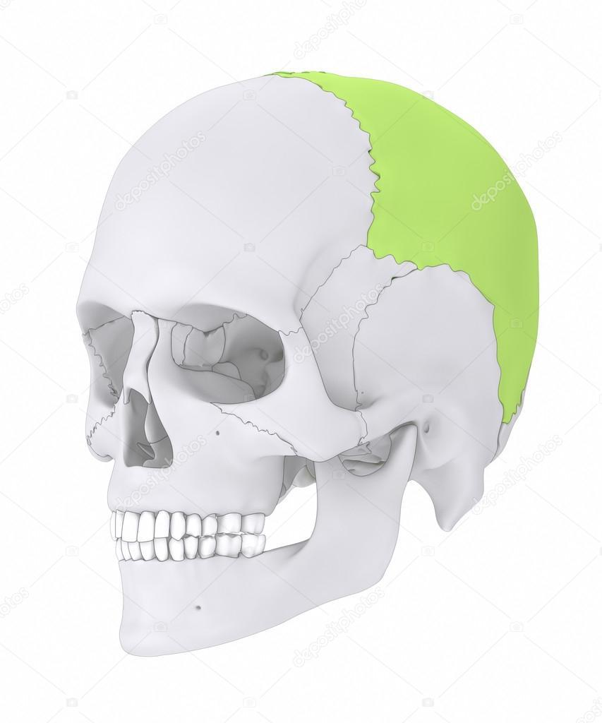 hueso parietal de cráneo humano — Fotos de Stock © CLIPAREA #125322160
