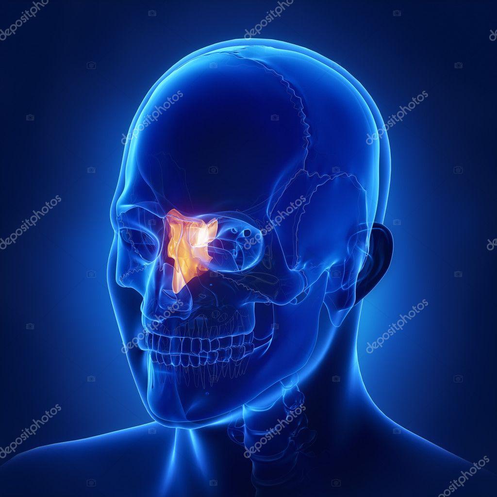 Siebbein Knochen, Schädel Anatomie — Stockfoto © CLIPAREA #125322206