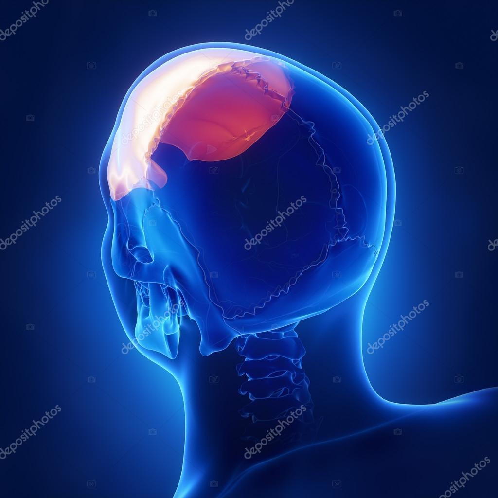 menschlicher Schädel Stirnbein — Stockfoto © CLIPAREA #125322256