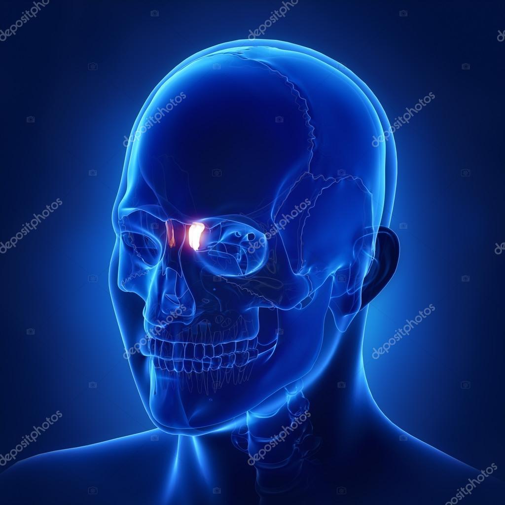human skull Lacrimal bone — Stock Photo © CLIPAREA #125322292