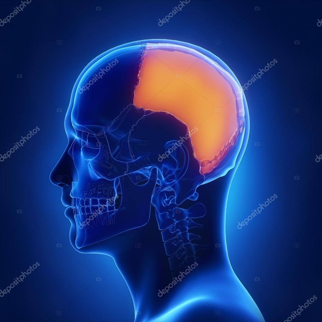 Right parietal bone anatomy — Stock Photo © CLIPAREA #125322548
