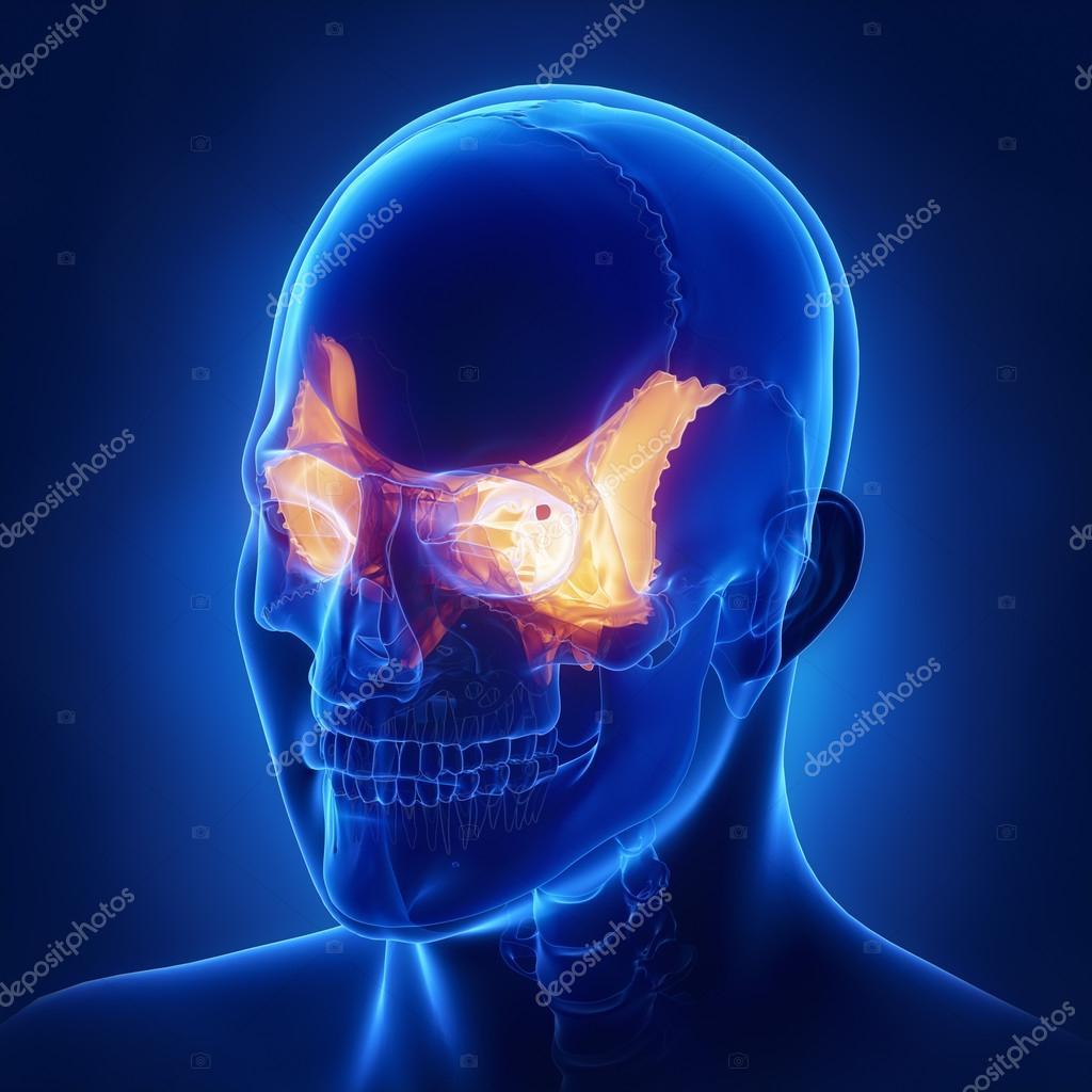 Sphenoid Skull Bone Anatomy Stock Photo Cliparea 125322560