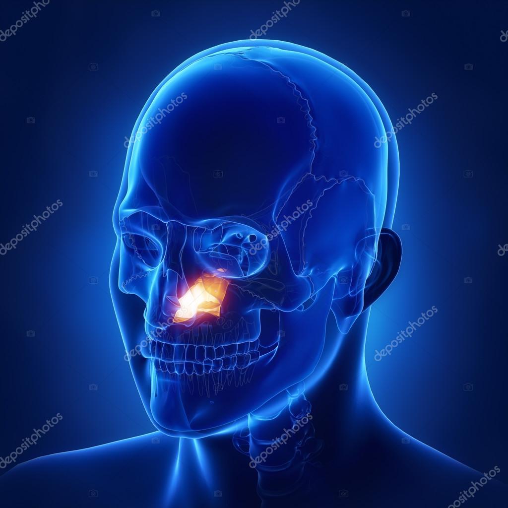 Human Skull Vomer Bone Stock Photo Cliparea 125322616