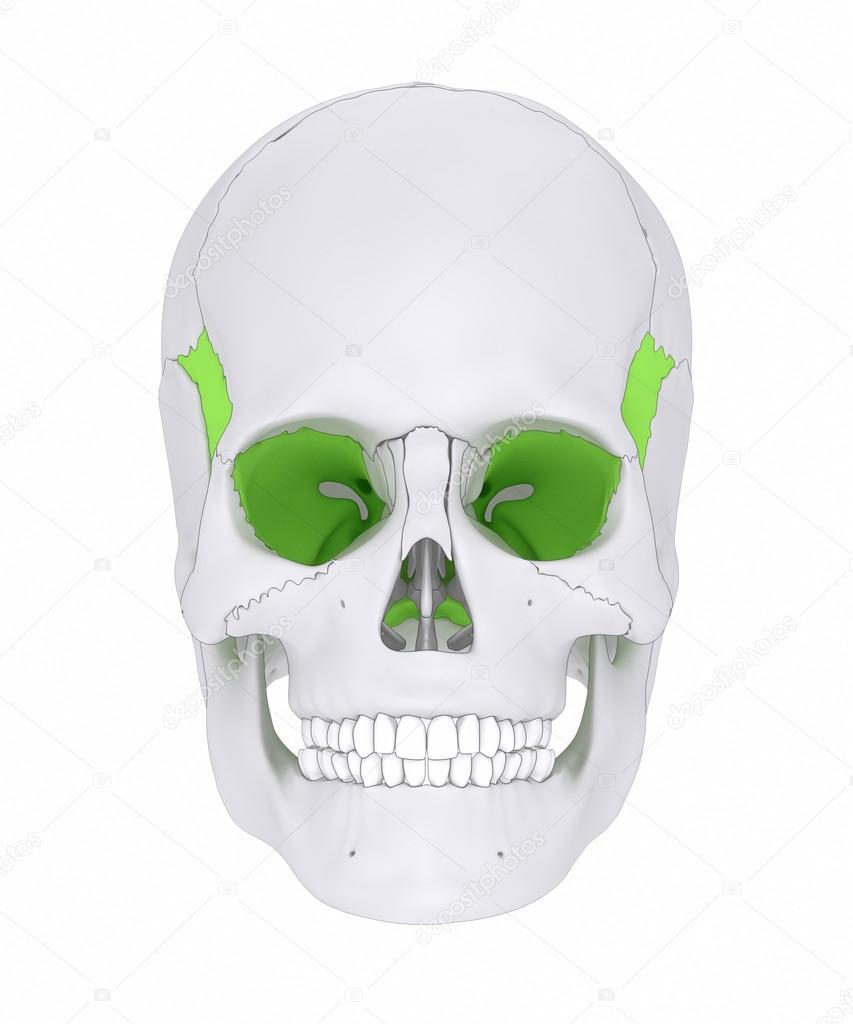 Sphenoid Schädel Knochen Anatomie — Stockfoto © CLIPAREA #125322658