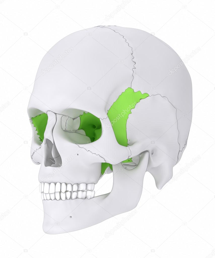 Sphenoid skull bone anatomy — Stock Photo © CLIPAREA #125322660