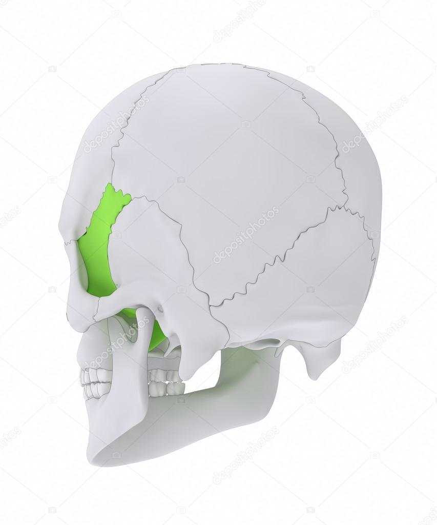Sphenoid skull bone anatomy — Stock Photo © CLIPAREA #125322672