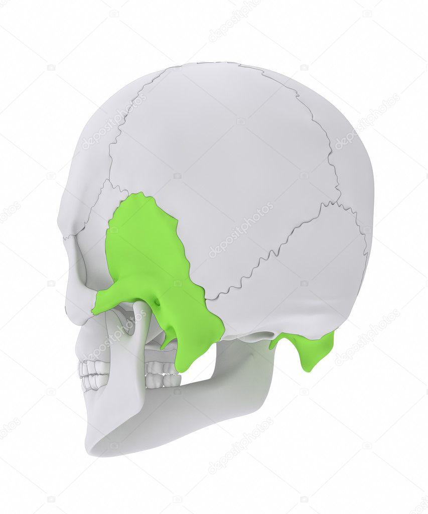 Temporal bone anatomy — Stock Photo © CLIPAREA #125322728