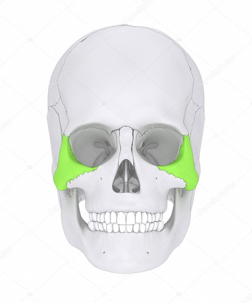 Skull Zygomatic bone anatomy — Stock Photo © CLIPAREA #125322734