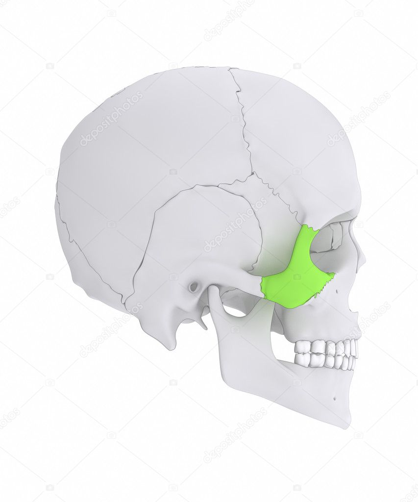 Skull Zygomatic bone anatomy — Stock Photo © CLIPAREA #125322744