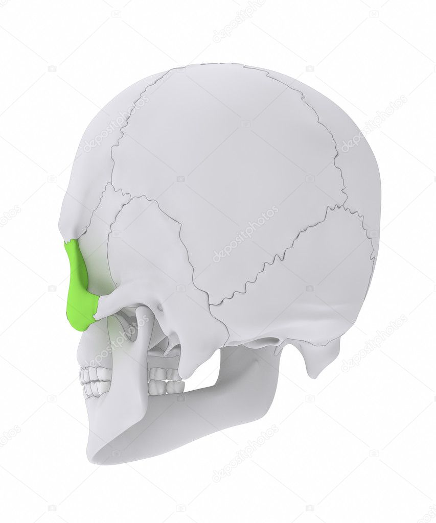 Skull Zygomatic Bone Anatomy Stock Photo Cliparea 125322782