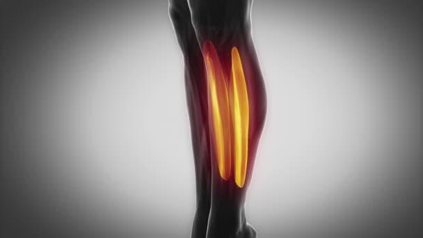 lidské soleus svaly
