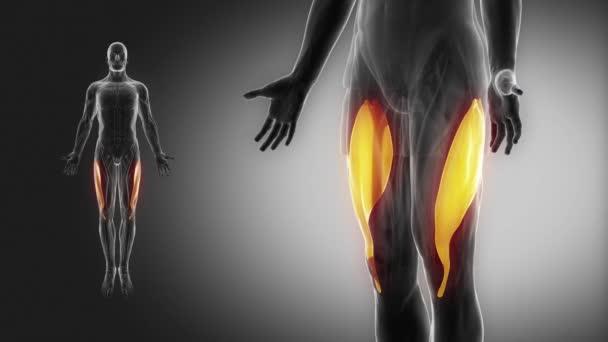 lidská vastus lateralis svaly