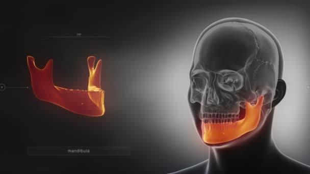 human skull mandible bone
