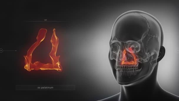 human skull palatine bone
