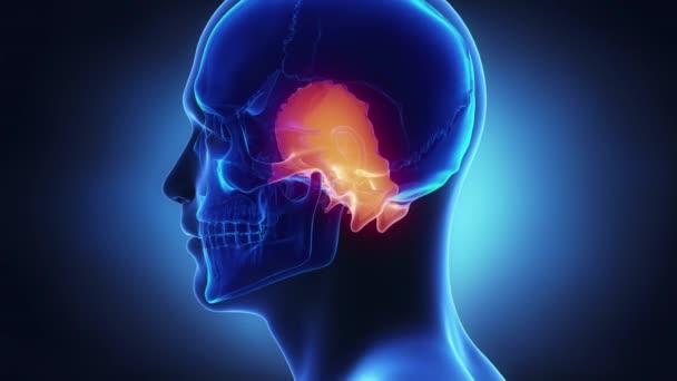 Anatomía del cráneo humano — Vídeo de stock © CLIPAREA #125333660