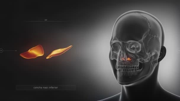 lidská lebka croncha kost