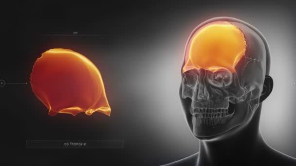 menschlicher Schädel Stirnbein — Stockvideo © CLIPAREA #125334326