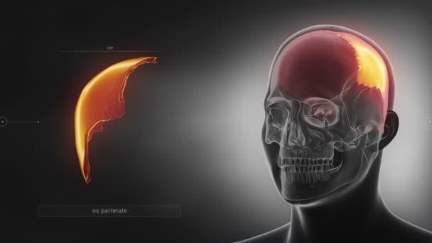 menschlicher Schädel Parietal Knochen — Stockvideo © CLIPAREA #125334836
