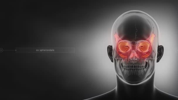 hueso esfenoides de cráneo humano — Vídeos de Stock © CLIPAREA ...