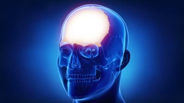 lidská lebka čelní kost