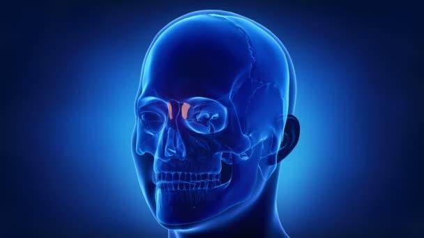 lidská lebka slzné kosti