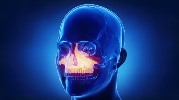 lidská lebka kost horní čelisti