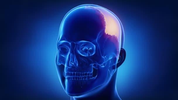 menschlicher Schädel Parietal Knochen — Stockvideo © CLIPAREA #125336412