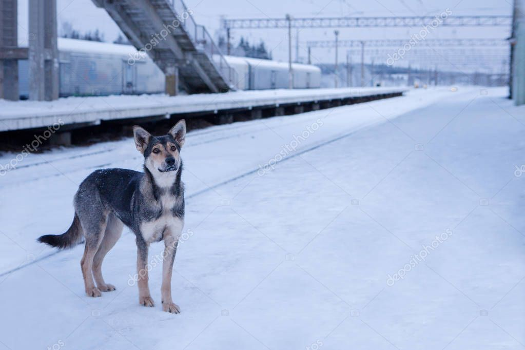 A homeless dog at the station in winter. Abandoned, faithful, tr