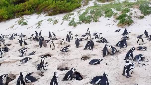 Fekete lábú pingvin Boulder Beach-en a Jóreménység fokán