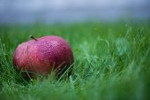 Fotografie fresh picked red apple
