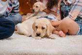 malé roztomilé štěně labradora