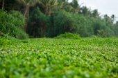 Wasserpflanzen im Regenwald
